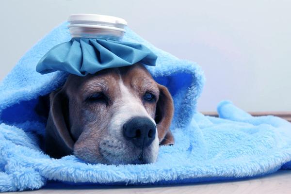 Dog having fever